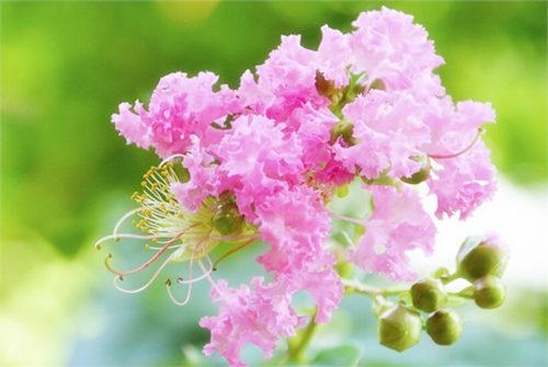 紫薇花的花语及传说故事