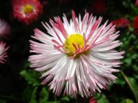 菊花的花语和含义